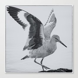 Willet Wings Canvas Print