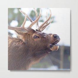 Watercolor Elk Bull 28, Estes Park, Colorado, Calling Anxst Metal Print