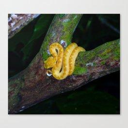 Eyelash viper in a tree Canvas Print