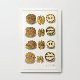 Walnuts (Juglans) (1911) by Amanda Almira Newton.1 Metal Print