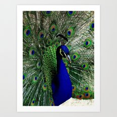 Proud Peacock Art Print