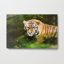 Pittsburgh Zoo - Tiger Metal Print