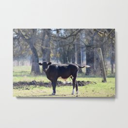 Black Cow With Tail Waving Metal Print