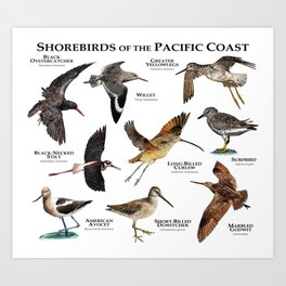 Shorebirds of the Pacific Coast Art Print