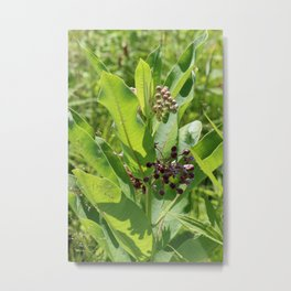 Multi Colored Milkweed Blossoms Metal Print