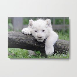 'Too Pooped to Pop' Baby Albino Lion Cub Metal Print