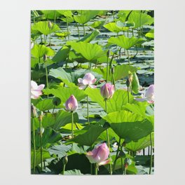 Water lilies 2. Poster