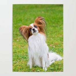 Portrait of a papillon purebreed dog sitting on the grass Poster