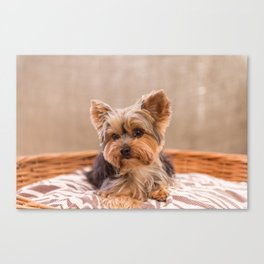 Tiffany the Teacup Yorkshire Terrier Canvas Print