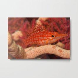Long-nosed hawkfish Metal Print