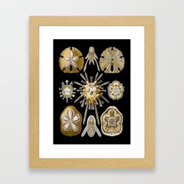 Ernst Haeckel - Scientific Illustration - Echinidea (Sea Urchins) Framed Art Print
