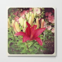 Asiatic Lilly Metal Print