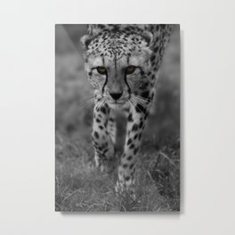 Stalking Cheetah Metal Print