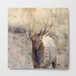 Watercolor Elk Bull 42, Estes Park, Colorado, Cheek-horn Metal Print