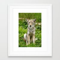 coyote Framed Art Prints featuring Coyote by Tracey Dryka