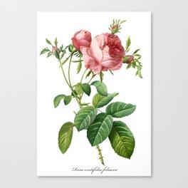 Vintage Rose - Redoute's Rosa Centifolia Foliacea Canvas Print