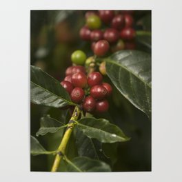 Coffee Seeds Poster