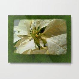 Pale Yellow Poinsettia 1 Blank P1F0 Metal Print