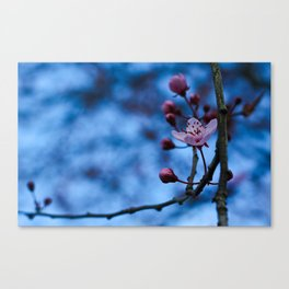 Sakura Blossoms Canvas Print
