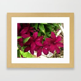 Rouge Cardinal Clematis Framed Art Print