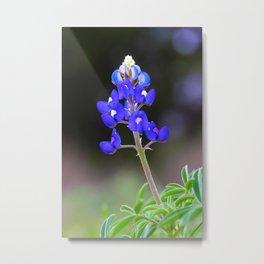 Texas Bluebonnet in bloom Metal Print