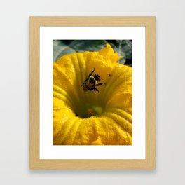 Pollen collecting in a pumpkin blossom Framed Art Print