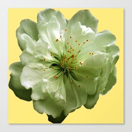 Delicate White Flower Blossom & Cream Color Canvas Print