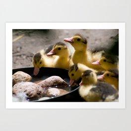 Yellow Muscovy duck ducklings Art Print