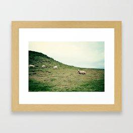 Icelandic Sheep Framed Art Print