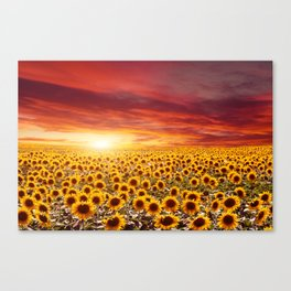Field of blooming sunflowers on a background sunset Canvas Print