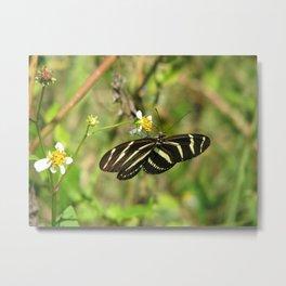 Zebra Winged Butterfly on a Spanish Needle Flower Metal Print