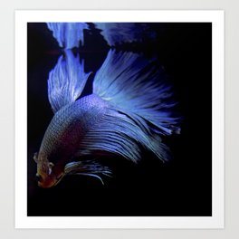 Blue Beta Fish Art Print