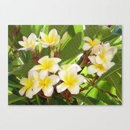 White and Yellow Frangipani Flowers with Leaves in Background  Canvas Print