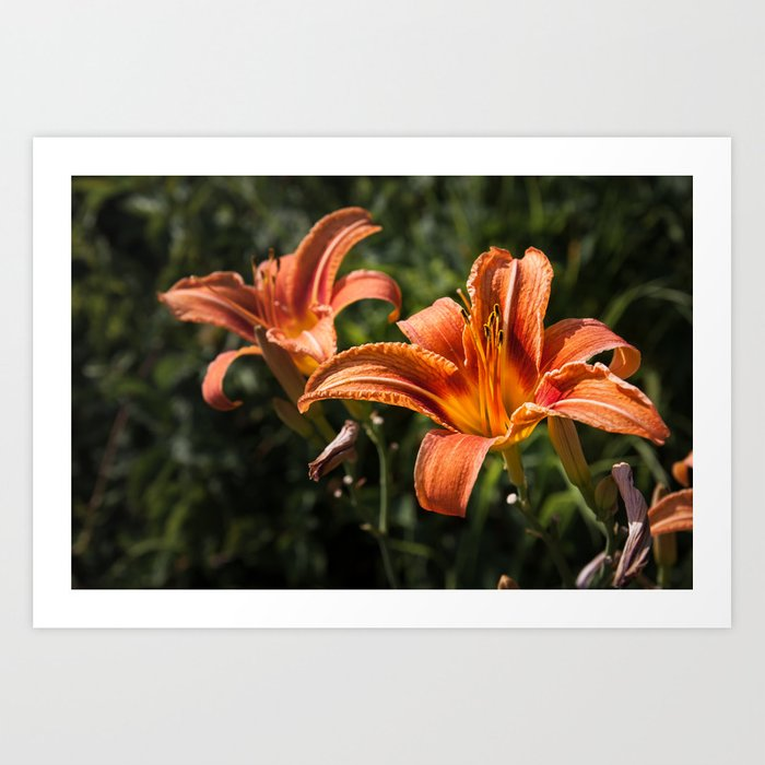 Orange Yellow Fire Lily Art Print