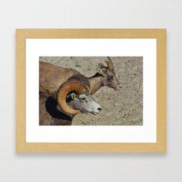 Big horn sheep couple in Jasper National Park Framed Art Print