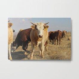 Wild cattle Metal Print