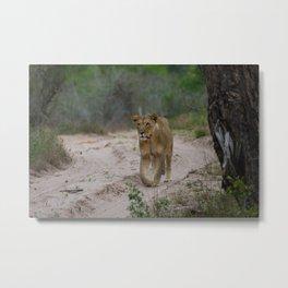Female Lion at Tembe Elephant Park Metal Print