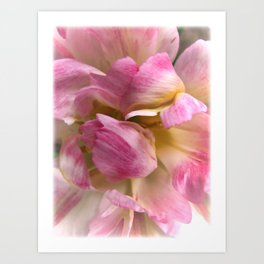 Close-up of a Soft and Frilly Pink & White Tulip ~ Pretty Spring Flower in Bloom Art Print