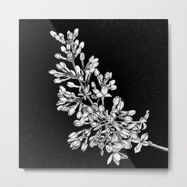 Lilac (Syringa vulgaris) Metal Print