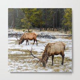 Jasper Locals- Male Elk/Wapiti Metal Print