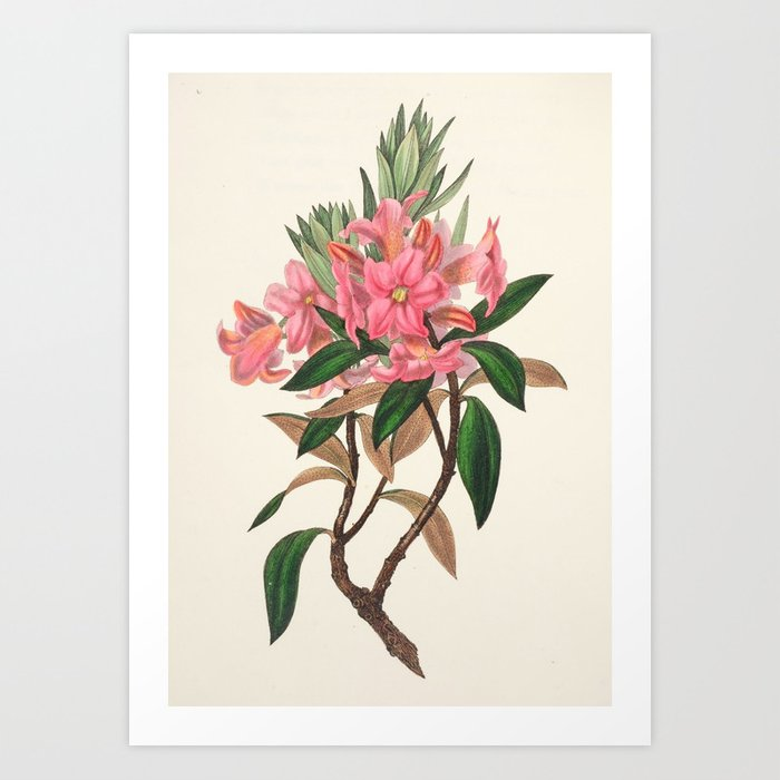 """Rusty-leaved rhododendron from """"The Moral of Flowers"""" (1833) by Rebecca Hey Art Print"""