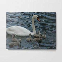 Mute Swan & Cygnets Metal Print