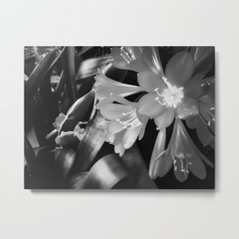 Closeup blooming Clivia flowers in black and white Metal Print