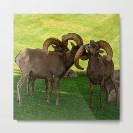 Entangled Horns - Desert Bighorn Rams Metal Print