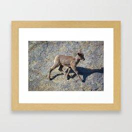 Lamb in Jasper National Park | Canada Framed Art Print