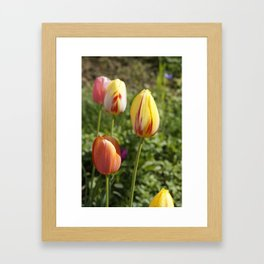 Yellow and Orange Tulips Framed Art Print