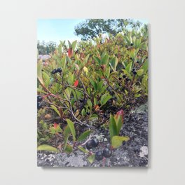 Wild Maine Blueberries on Pleasant Mountain (1) Metal Print