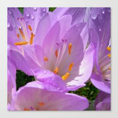 crocus bloom Canvas Print
