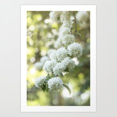 White Hydrangea at beautiful backlight- Flowers Floral Art Print