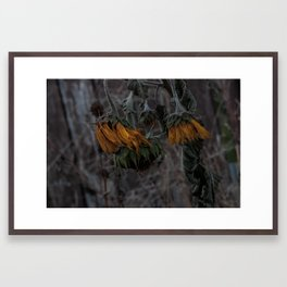 Lost In The Cycle; death/renew series - The Sunflower. Framed Art Print
